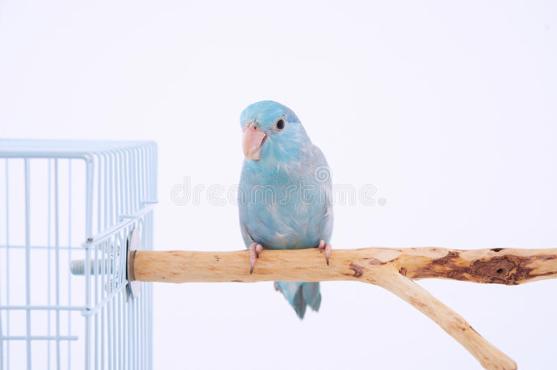 Pacific Parrot. Parrot stand on the branch outside bird cage with white background royalty free stock photography