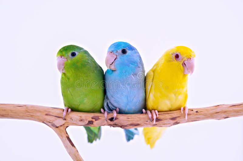 Pacific Parrot. Three birds stand on the branch with white background royalty free stock image