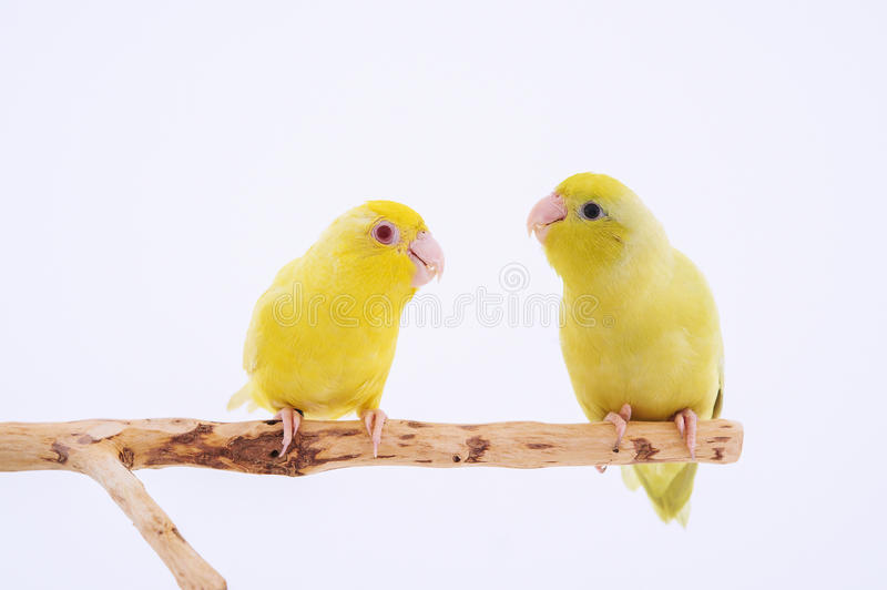 Pacific Parrot. Two birds stand on the branch with white background royalty free stock photography