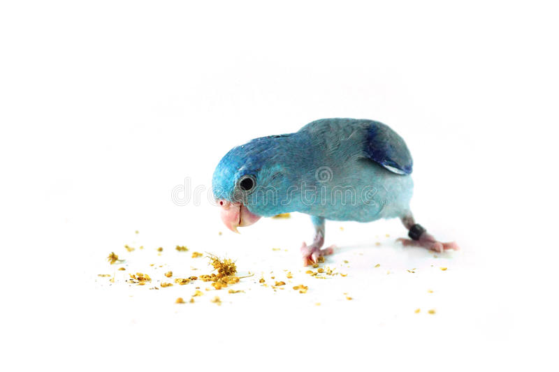 Pacific Parrotlet eating the millet, Forpus coelestis. On white background stock photo