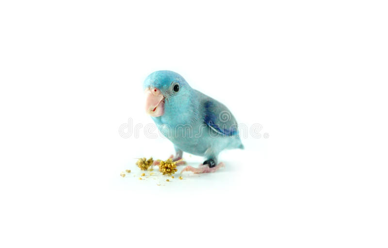 Pacific Parrotlet eating the millet, Forpus coelestis. On white background royalty free stock photo