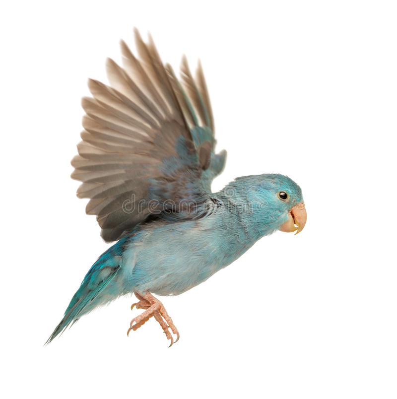 Pacific Parrotlet, Forpus coelestis, flying. Against white background stock photo