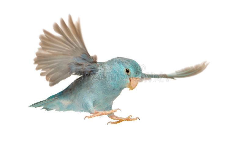 Pacific Parrotlet, Forpus coelestis, flying. Against white background stock image