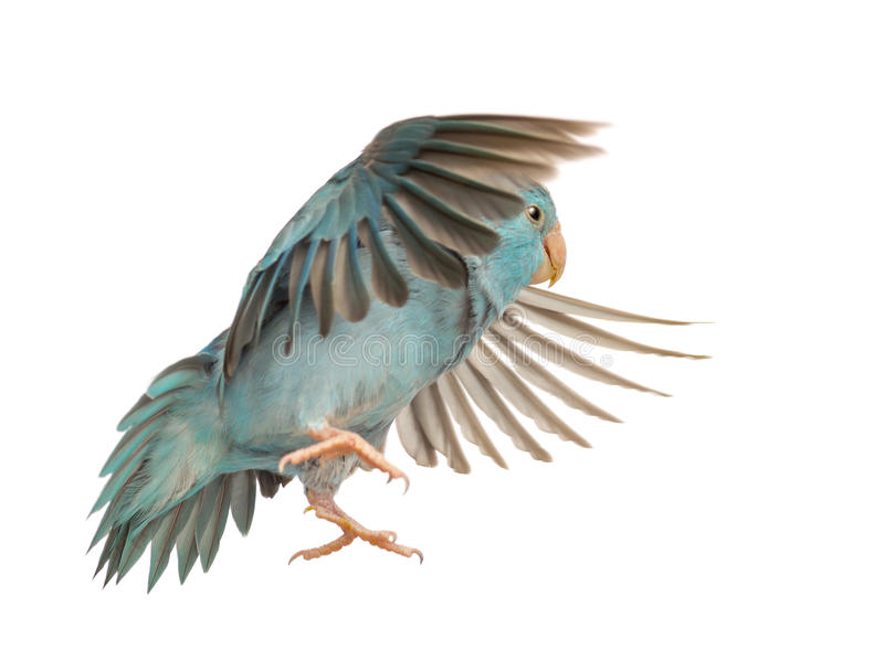 Pacific Parrotlet, Forpus coelestis, flying. Against white background stock images