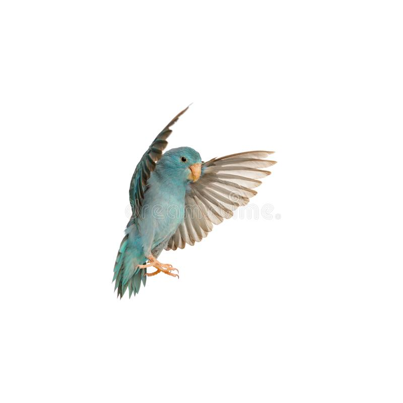 Pacific Parrotlet, Forpus coelestis. Flying against white background stock image