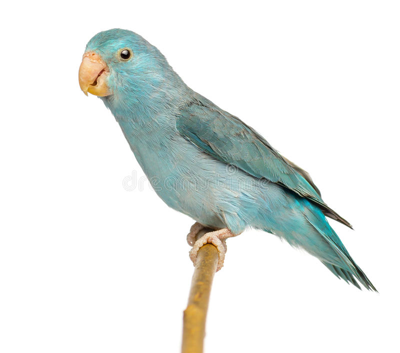 Pacific Parrotlet, Forpus coelestis, perched on branch. Against white background royalty free stock images