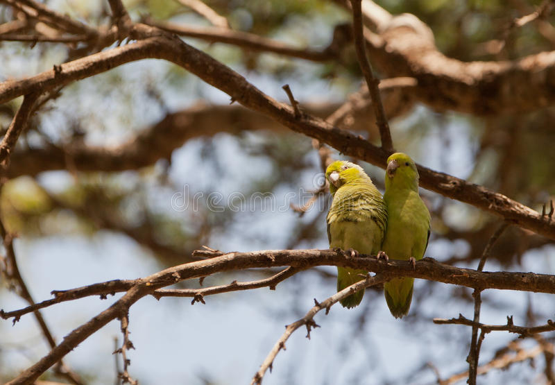 Download Pacific Parrotlet's couple stock image. Image of close - 25247231