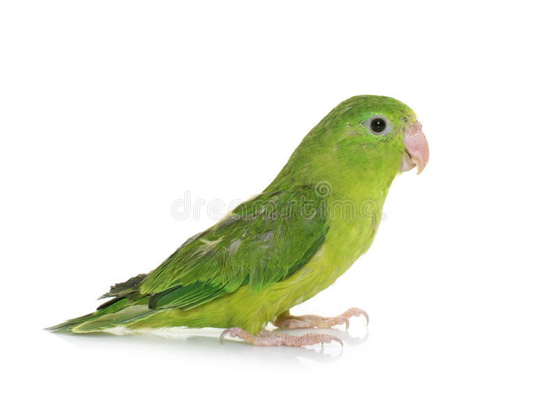 Pacific parrotlet in studio. Pacific parrotlet in front of white background royalty free stock photos