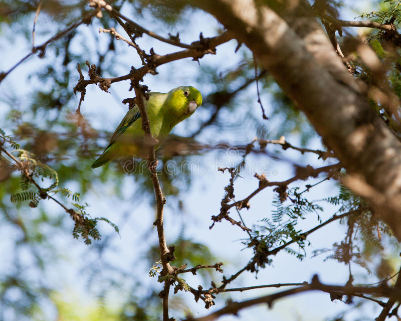 Pacific Parrotlet on twig. A peruvian Pacific Parrotlet (Forpus coelestis) plays in the dense vegetation royalty free stock image