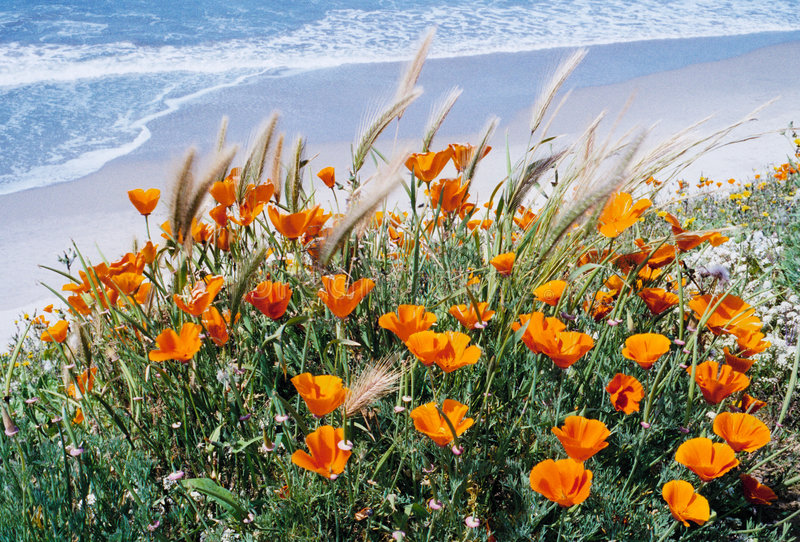 Download Pacific Poppies stock image. Image of coast, surf, coastline - 3016583