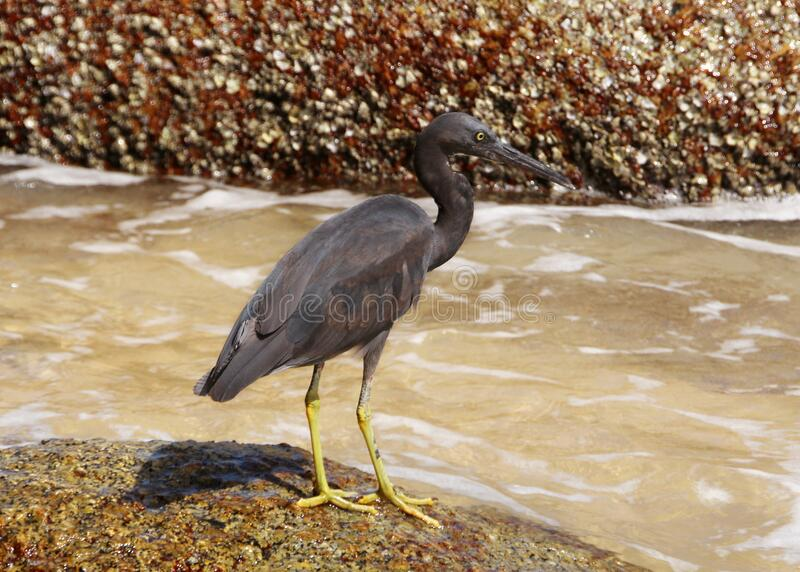 Pacific reef heron also known as eastern reef heron or eastern reef egret on the beach hunting for food, Phuket, Thailand.  royalty free stock photos