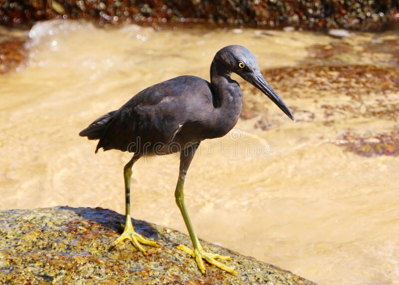 Pacific reef heron also known as eastern reef heron or eastern reef egret on the beach hunting for food, Phuket, Thailand.  royalty free stock images