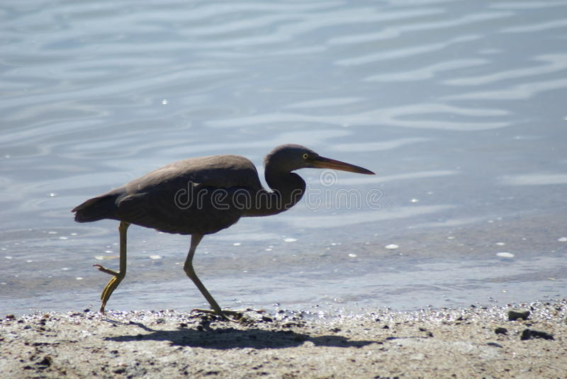Pacific reef heron on the run. A pacific reef heron running along the beach line royalty free stock photos