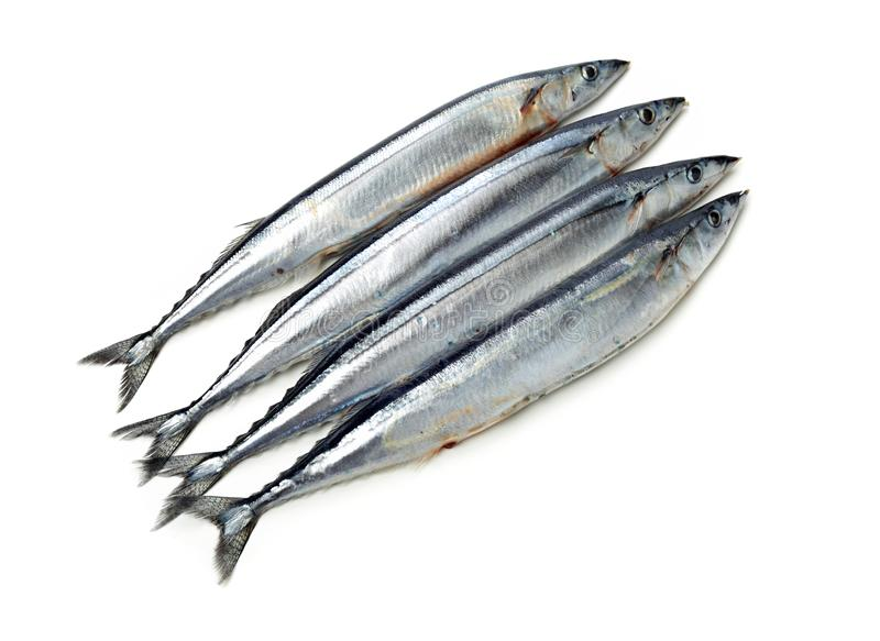 Pacific saury. On white background stock image