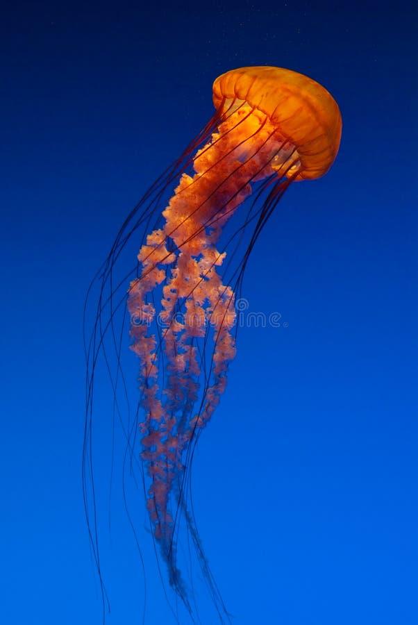 Pacific Sea Nettle orange jellyfish. Free-swimming translucent orange Pacific Sea Nettle jellyfish on blue background at Georgia Aquarium in Atlanta royalty free stock photo