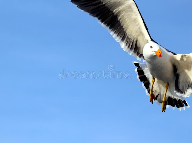 Pacific Seagull in Flight. The Pacific gull is a very large gull, native to the coasts of Australia. It is moderately common between Carnarvon in the west, and royalty free stock photo