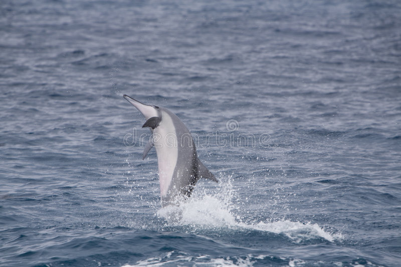 Pacific Spinner Dolphin Jumping stock photo