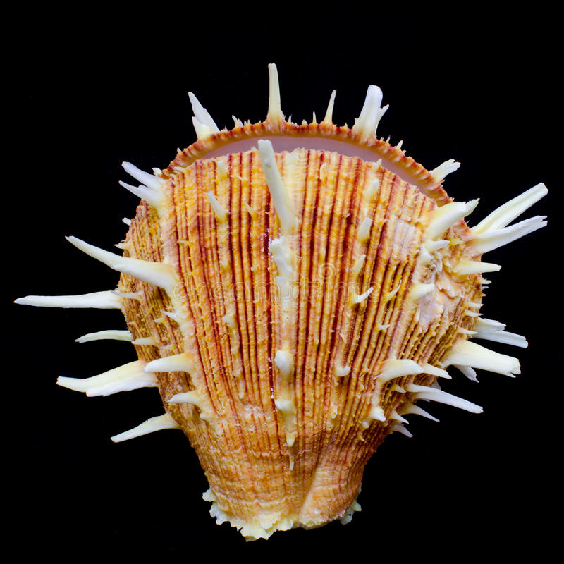 Free Pacific Thorny Oyster Seashell Royalty Free Stock Image - 38762616