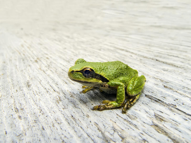 Download Pacific Tree Frog stock photo. Image of nature, close - 26483826