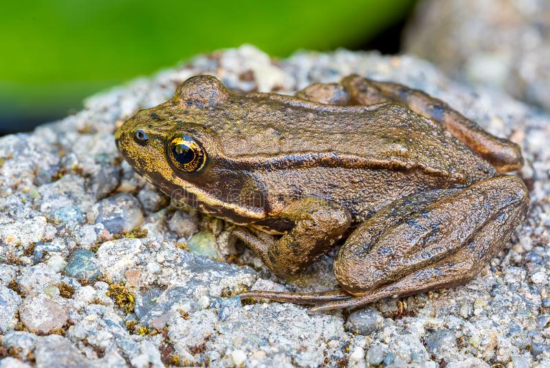 Pacific Tree Frog Closeup royalty free stock photo