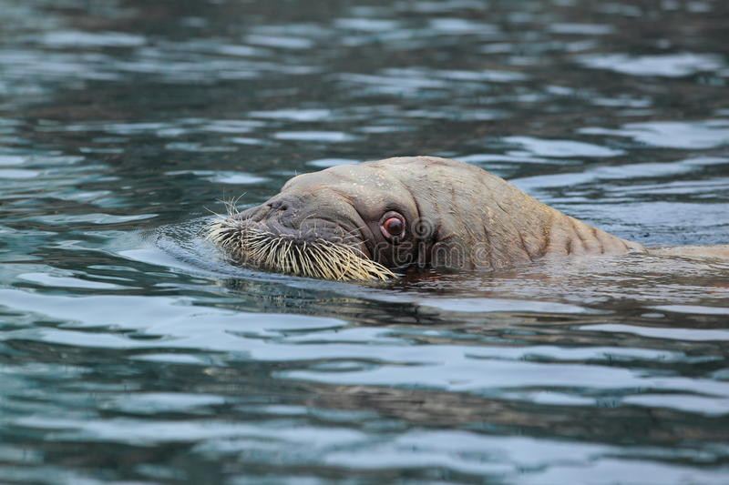 Pacific walrus. The pacific walrus in water royalty free stock photography