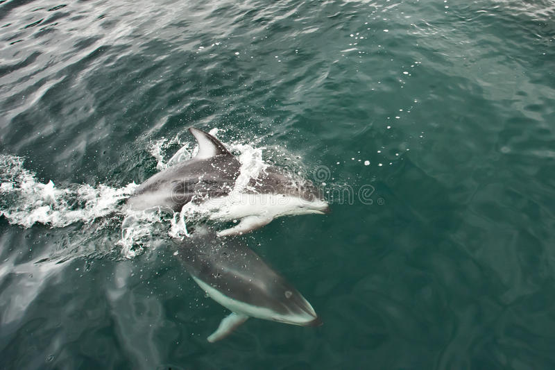 Download Pacific White Sided Dolphin Stock Photo - Image: 21027066