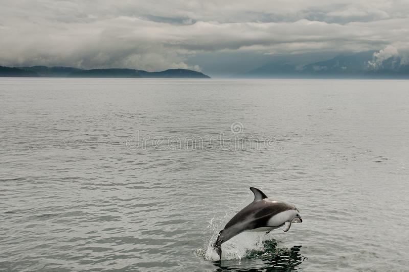 Pacific White Sided Dolphin. Single Pacific White Sided Dolphin Breaching from Calm Water stock photo
