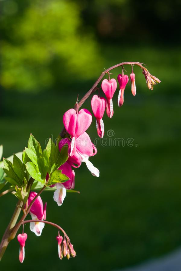 Pacific or Wild Bleeding Heart, Dicentra Formosa, flowers on stem with bokeh background, macro, selective focus. Shallow DOF royalty free stock photos