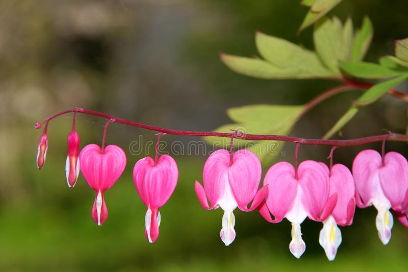 Pacific or Wild Bleeding Heart, Dicentra Formosa, flowers on stem with bokeh background, macro, selective focus, shallow DOF stock image