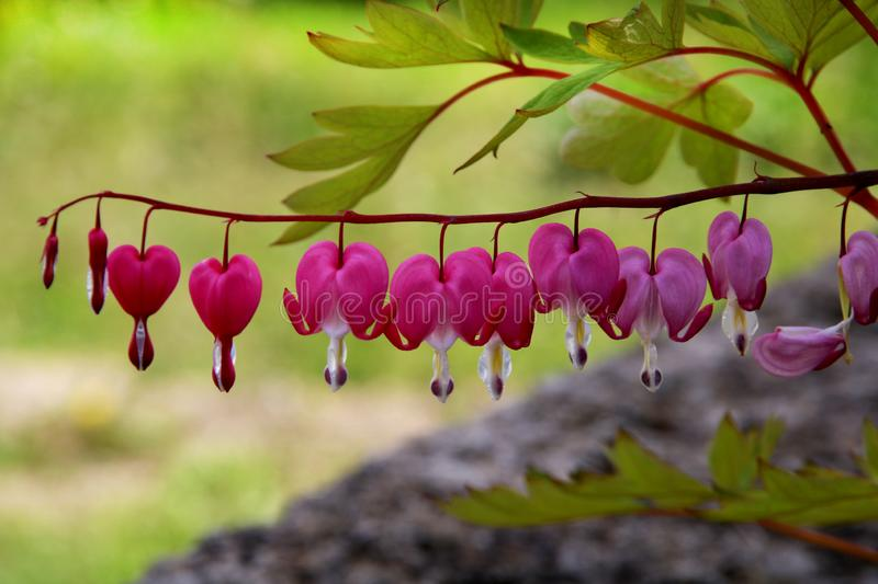 Pacific or Wild Bleeding Heart, Dicentra Formosa, flowers on stem with bokeh background, macro, selective focus, shallow DOF. Pacific or Wild Bleeding Heart royalty free stock photos