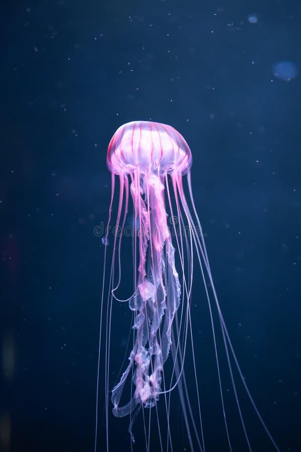 Pacifica d'ardore della chrysaora delle meduse subacqueo fotografie stock libere da diritti