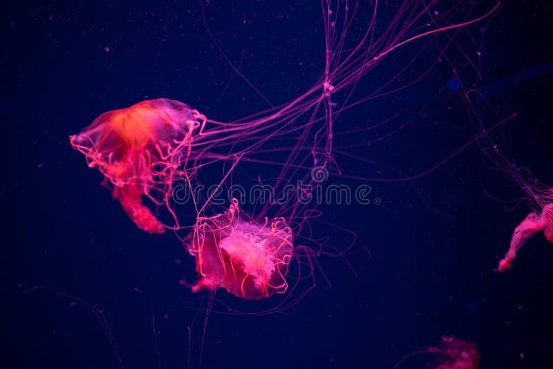 Pacifica giapponese della chrysaora dell'ortica del mare delle meduse in acqua fotografia stock