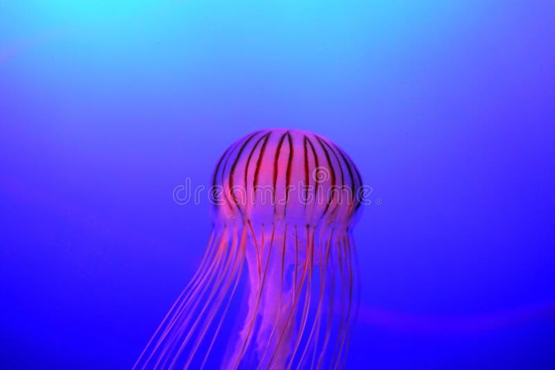 Pacifica giapponese della chrysaora delle meduse dell'ortica del mare immagini stock libere da diritti