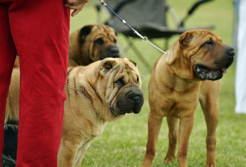 Pack of adult Chinese Shar Pei dogs very curious and alert at dog show. A pack of three adult Chinese Shar Pei or Roly Poly puppy dogs standing with their owner royalty free stock photography