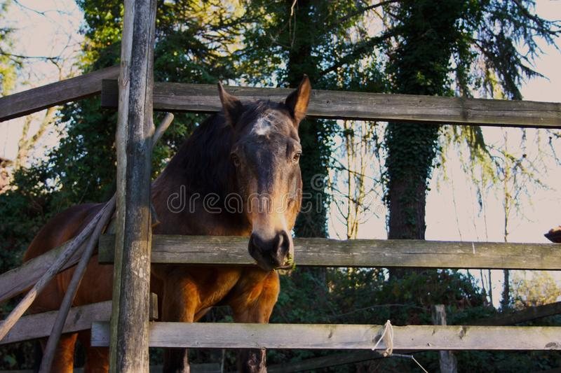 Pack animal riding beast. adult brown horse inside its enclosure. Pack animal, a young riding beast. adult brown horse inside its enclosure royalty free stock photo