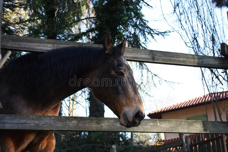 Pack animal riding beast. adult brown horse inside its enclosure. Pack animal, a young riding beast. adult brown horse inside its enclosure stock photography