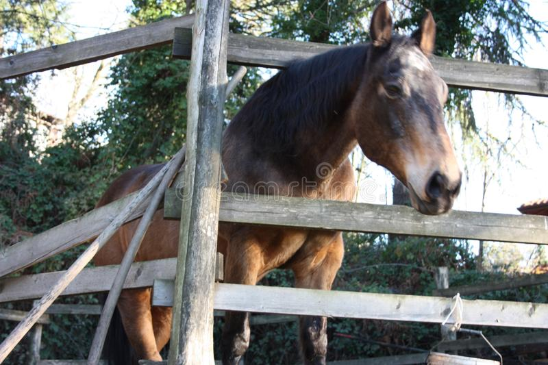 Pack animal riding beast. adult brown horse inside its enclosure. Pack animal, a young riding beast. adult brown horse inside its enclosure stock photo
