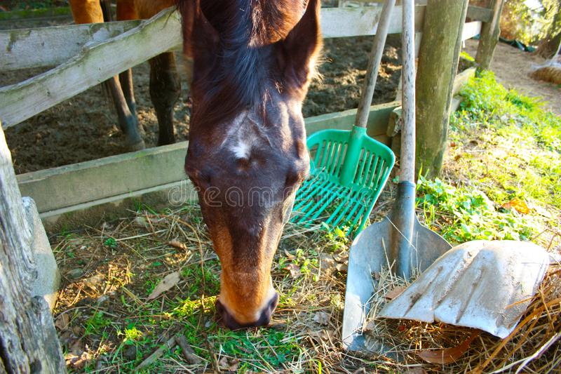 Pack animal riding beast. adult brown horse inside its enclosure. Pack animal, a young riding beast. adult brown horse inside its enclosure royalty free stock image