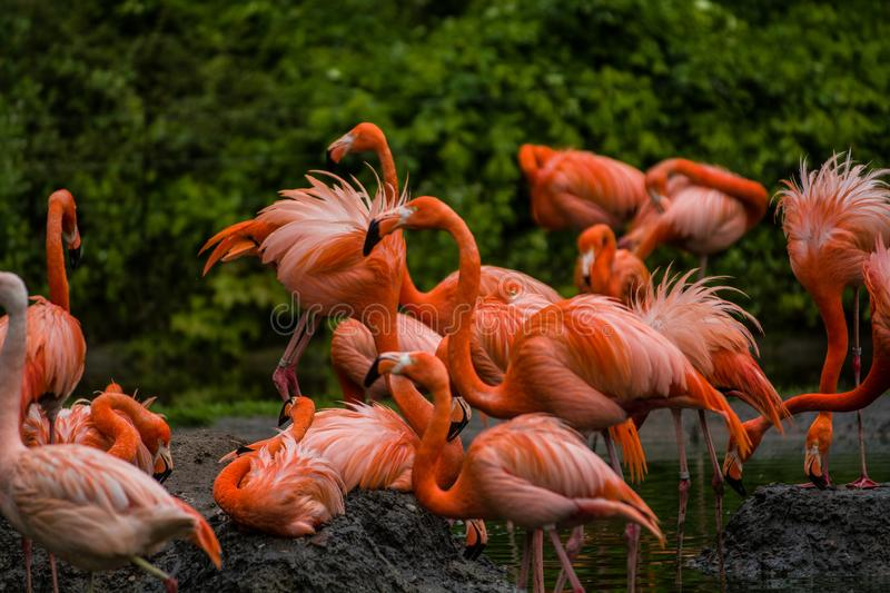 Pack of bright birds in a green meadow near the lake. Exotic flamingos saturated pink and orange colors with fluffy feathers stock photo
