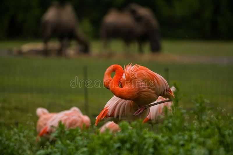 Pack of bright birds in a green meadow near the lake. Exotic flamingos saturated pink and orange colors with fluffy feathers royalty free stock photos