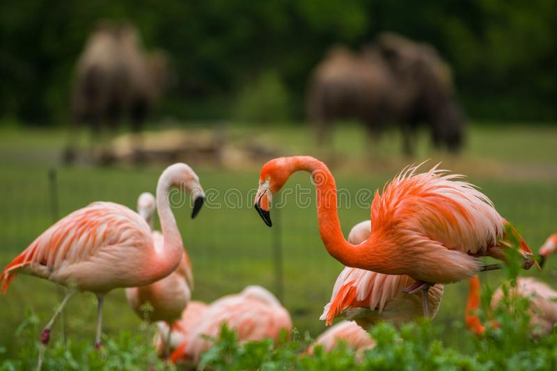 Pack of bright birds in a green meadow near the lake. Exotic flamingos saturated pink and orange colors with fluffy feathers royalty free stock images