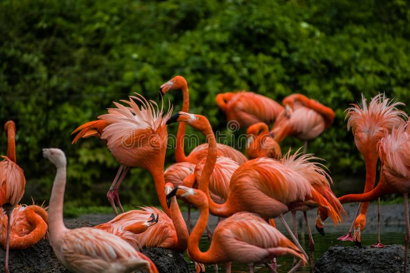 Pack of bright birds in a green meadow near the lake. Exotic flamingos saturated pink and orange colors with fluffy feathers stock photos