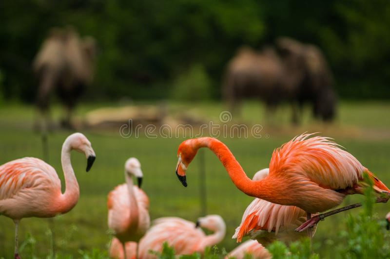 Pack of bright birds in a green meadow near the lake. Exotic flamingos saturated pink and orange colors with fluffy feathers royalty free stock photography