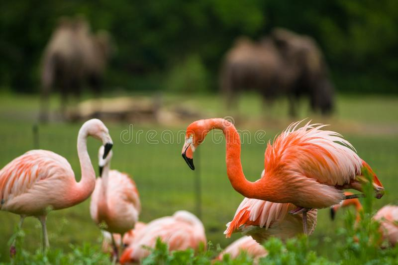 Pack of bright birds in a green meadow near the lake. Exotic flamingos saturated pink and orange colors with fluffy feathers stock photography