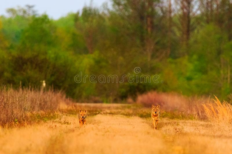The Pack. A couple of Coyote on an evening hunt at The Bald Knob Wildlife Refuge Bald Knob, Arkansas 2017 royalty free stock photo