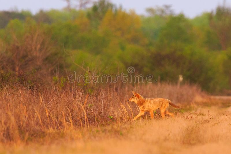 The Pack. A Coyote on an evening hunt at The Bald Knob Wildlife Refuge Bald Knob, Arkansas 2017 royalty free stock photography