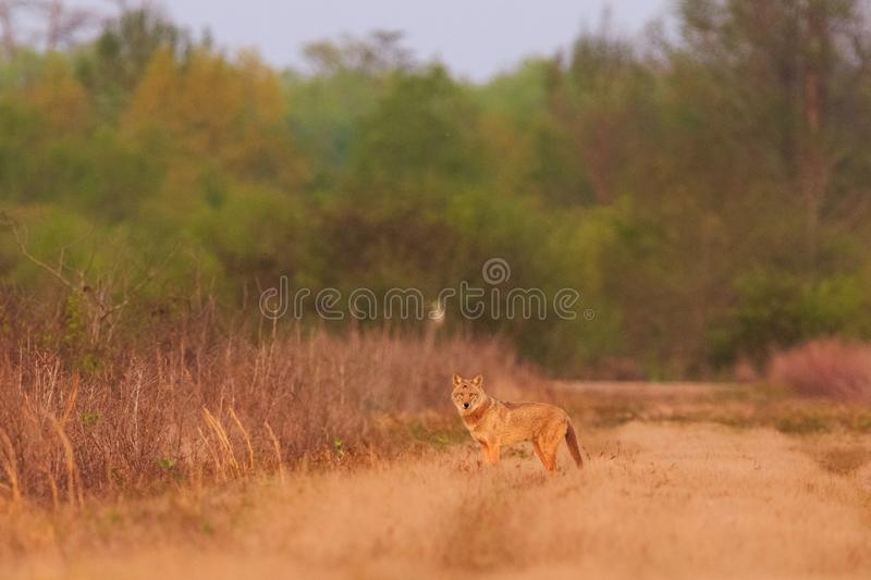 The Pack. A Coyote on an evening hunt at The Bald Knob Wildlife Refuge Bald Knob, Arkansas 2017 stock photography