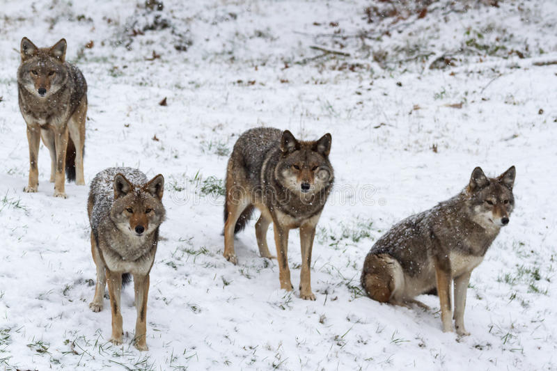 Pack of coyotes in a winter scene royalty free stock photos