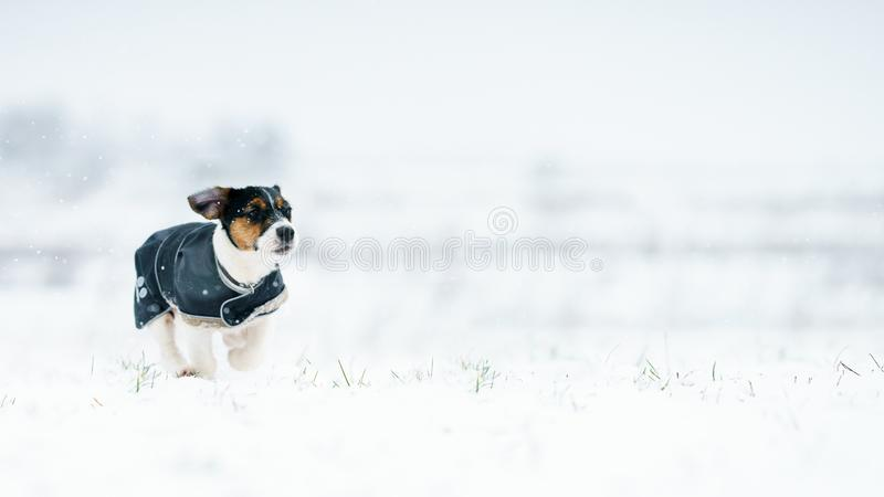 A pack of dogs jack russell terrier is chasing on a winter meadow. Everything in the snow. stock images