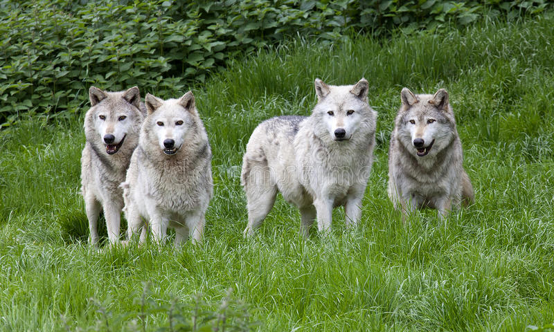 Pack of European Grey Wolves. A pack of European Grey Wolves playing in grass